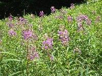 高原の夏の花